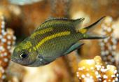 Cá san hô có khả năng điều chỉnh giới tính của cá con