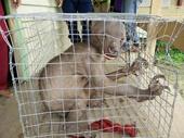 """Giải mã sinh vật """"ngoài hành tinh"""" bị dân Malaysia đuổi đánh"""