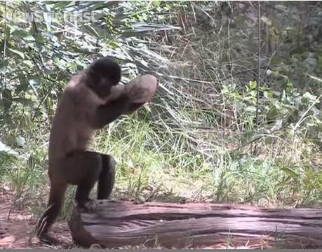 Khỉ làm nứt vỏ hạt như thế nào