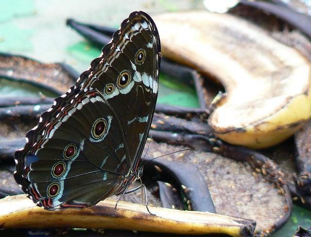 Tìm hiểu thói quen ăn uống khủng khiếp của loài bướm