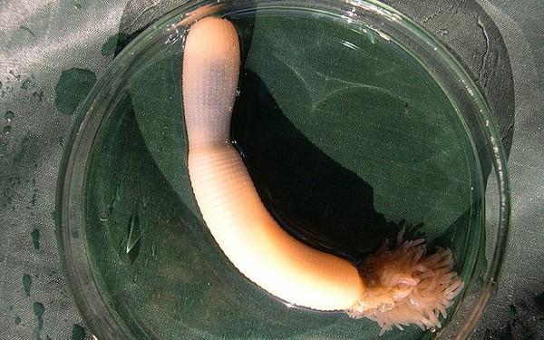 Phát hiện sâu dương vật có hàm răng siêu khủng