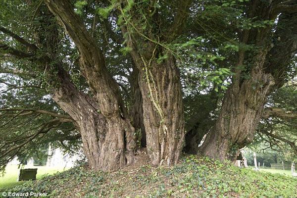 Cây 4.000 năm tuổi ở Anh đang chết dần