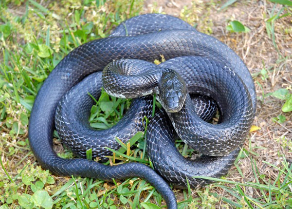 Rắn ăn rắn là chuyện khá phổ biến nhưng có lẽ rắn tự ăn mình là câu chuyện kỳ dị khiến nhiều người sửng sốt.