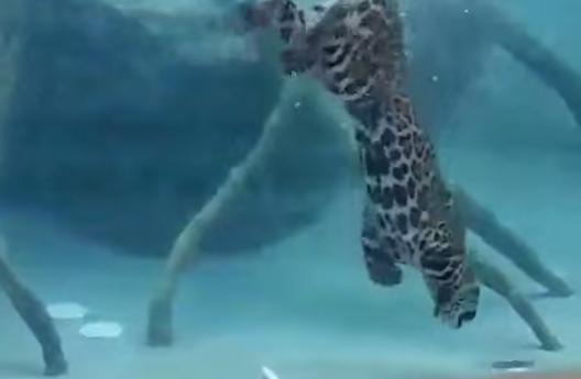 Báo đốm săn mồi dưới nước