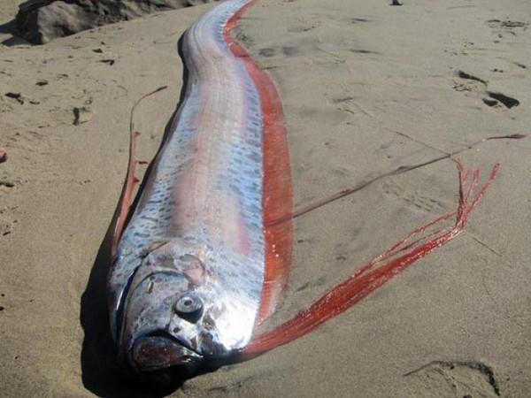 """Loài """"rồng biển"""" có khả năng dự báo động đất trôi vào biển Việt Nam"""