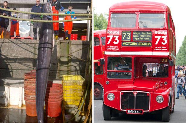 Bắt được lươn khổng lồ cao hơn xe bus 2 tầng