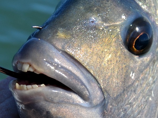 Khám phá 4 loài sinh vật biển kì lạ có hàm răng giống người