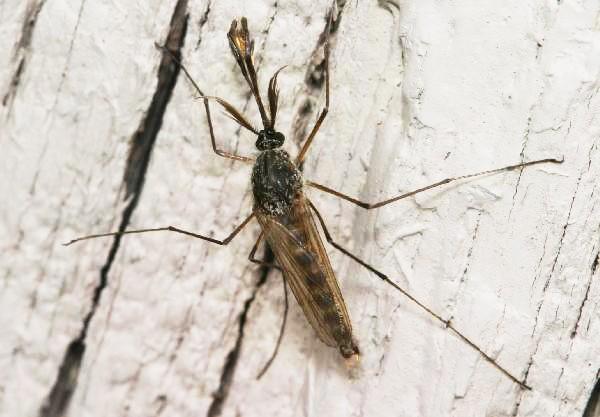 Thay đổi giới tính ở muỗi