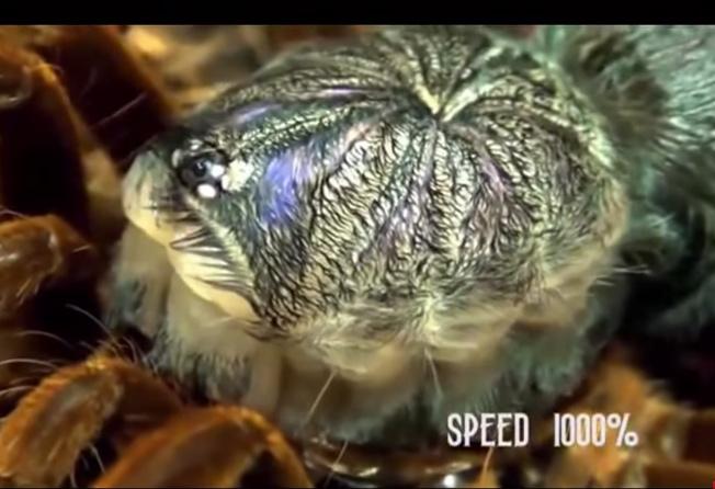 Video: Quá trình lột xác của nhện khổng lồ Châu Mỹ