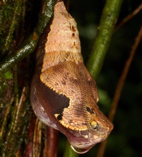 """Kinh dị loài sâu bướm biết """"hóa trang"""" thành rắn"""
