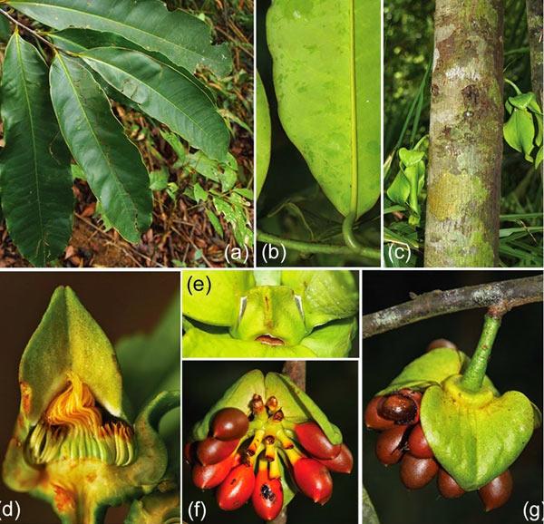 Phát hiện một loài thực vật mới ở khu bảo tồn thiên nhiên Hòn Bà-Khánh Hòa