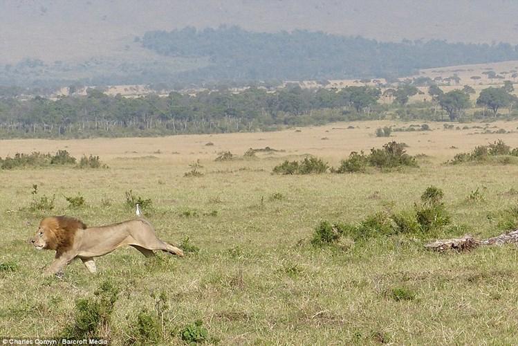 Kinh ngạc với cảnh sư tử sợ hãi leo lên cây chạy trốn bầy trâu rừng hung dữ