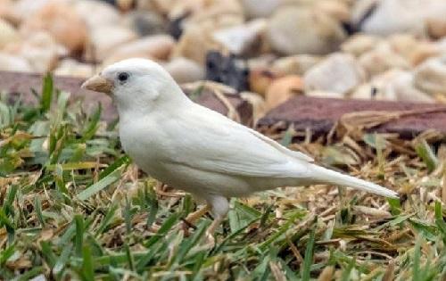 Australia xuất hiện chim sẻ bạch tạng quý hiếm