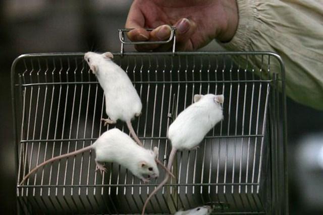 Chuột già liền xương nhờ tiêm máu của chuột trẻ
