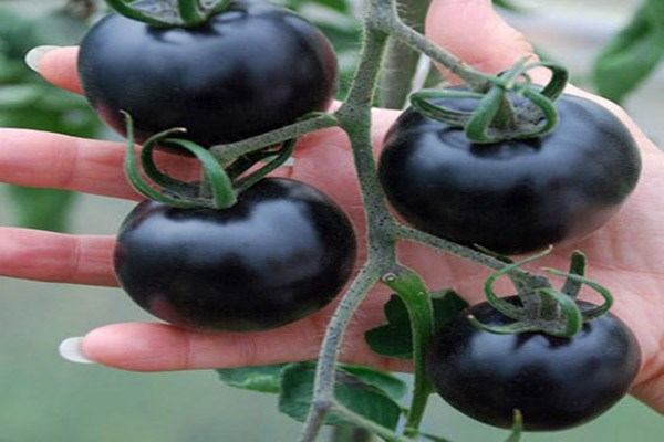 Kinh ngạc tác dụng chống ung thư hiệu quả của cà chua đen