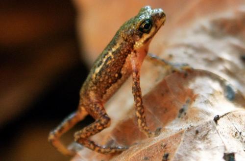 Loài cóc nhỏ Palawan tái xuất sau gần nửa thế kỷ