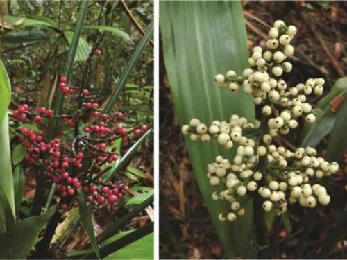 Phát hiện hai loài cây mới ở Singapore