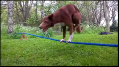 Video: Chó đứng thăng bằng trên dây bằng hai chân
