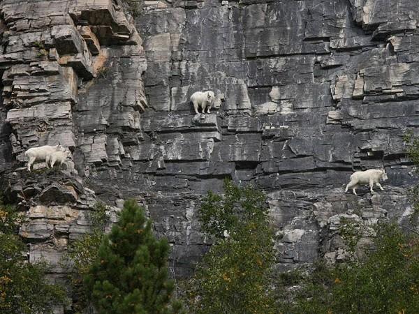 Bất ngờ trước khả năng leo núi của loài dê