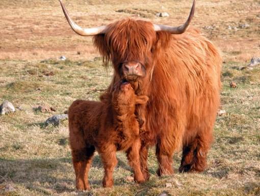 Những giống bò hiếm vừa quái, vừa lạ