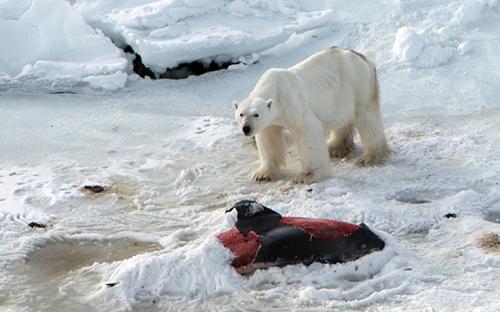 Gấu Bắc Cực ăn thịt cá heo do biến đổi khí hậu