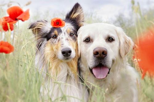 Cách thuần hóa bản tính hung dữ của chó lai