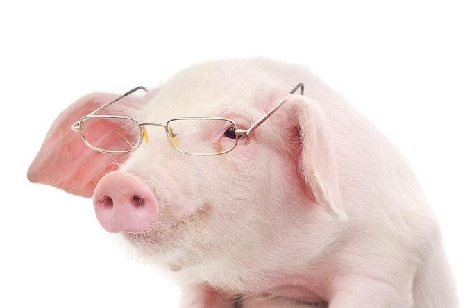 Lợn thông minh hơn chó và tinh tinh?
