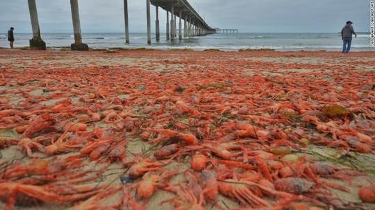 Hàng ngàn con cua nhuộm đỏ bãi biển Mỹ
