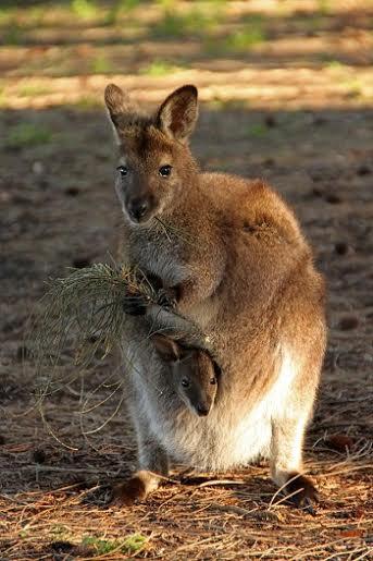 Kangaroo thuận tay trái