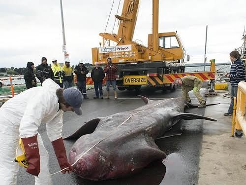 Australia bắt được cá mập khổng lồ hiếm sau hơn 80 năm