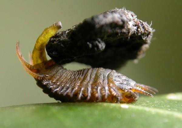 Ấu trùng bọ rùa dùng phân làm vũ khí chiến đấu