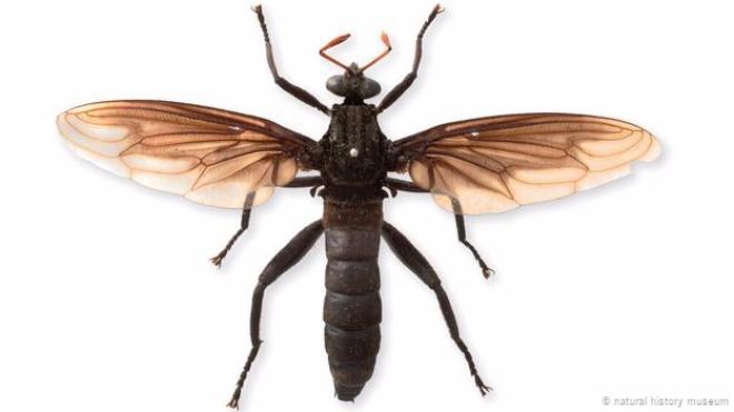 Cận cảnh những loài ruồi lớn nhất hành tinh