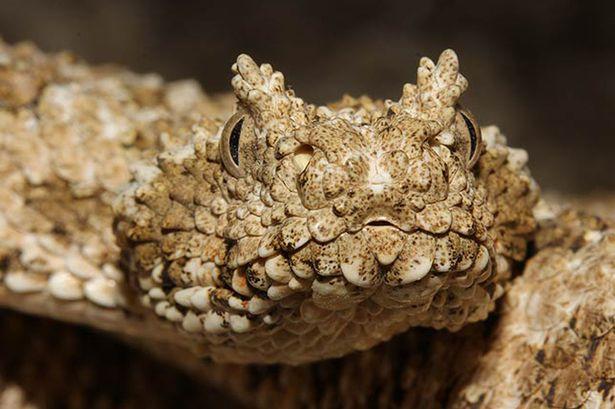 Kinh ngạc với cách bắt mồi thông minh của rắn độc đuôi nhện