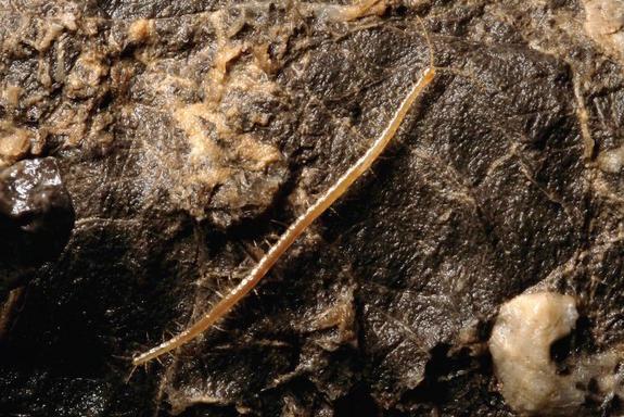 Sinh vật lạ có 33 cặp chân sống ở 1.100m dưới mặt đất