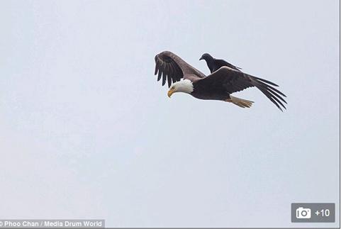 """Quạ đen """"cưỡi"""" đại bàng đang bay"""