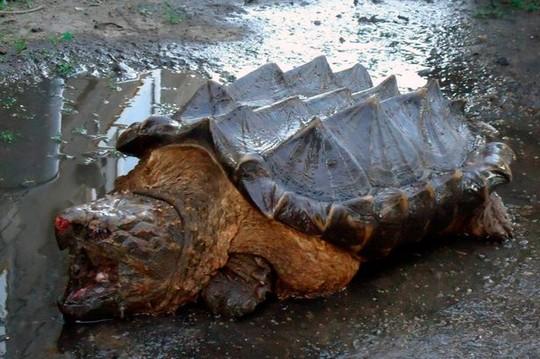 """Xuất hiện rùa """"khủng long"""" bí ẩn tại Nga"""