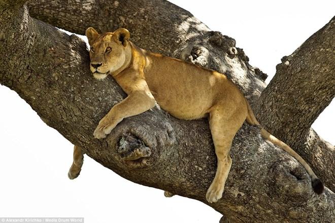 Tránh nắng nóng kiểu sư tử châu Phi