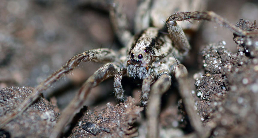 """Phát hiện loài nhện phát ra """"tiếng kêu"""" để mời gọi bạn tình"""
