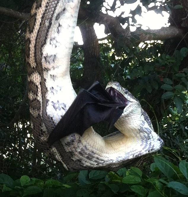 Trăn khổng lồ leo lên cây nuốt chửng dơi