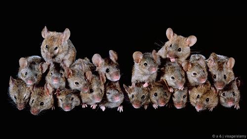 Chuột sinh sôi và xâm lấn một hòn đảo chỉ trong 5 tháng
