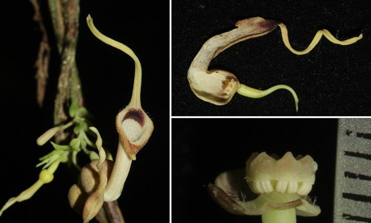 Phát hiện một loài thực vật mới họ Mộc Hương