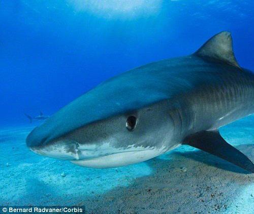 Cá mập càng trở nên hung dữ do trái đất nóng lên