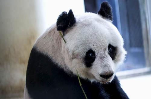 Gấu trúc 37 tuổi ở Hong Kong phá vỡ kỷ lục già nhất thế giới