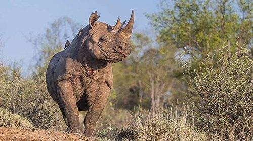 Mỹ giải mã thành công bộ gen tê giác đen