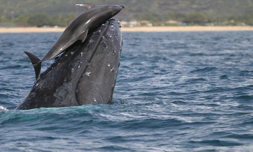 Vì sao cá heo hay cưỡi trên lưng cá voi?