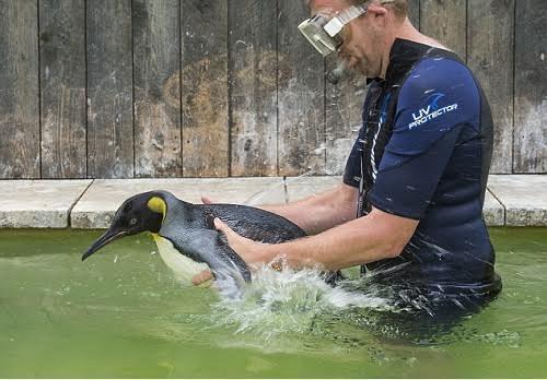Chim cánh tập bơi vì sợ nước