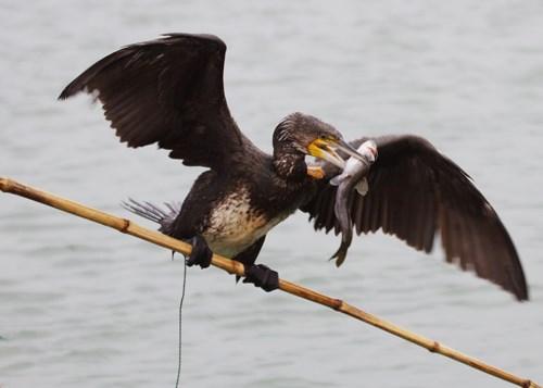 Video: Huấn luyện chim cốc bắt cá trên sông
