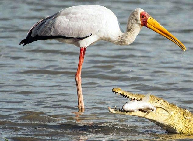 """Cá sấu cướp mồi của """"bạn"""" cò"""