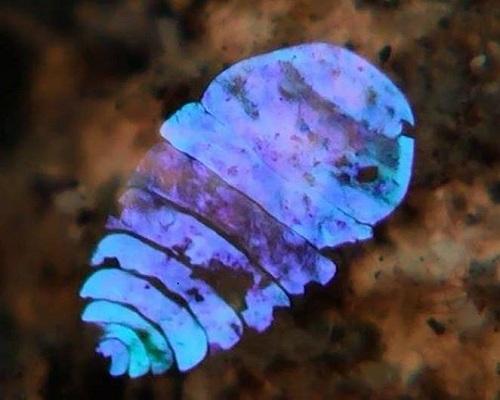 Khám phá thuật tàng hình của sinh vật lấp lánh như đá sapphire