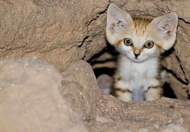 Khám phá thú vị về loài mèo duy nhất có thể sống trên sa mạc